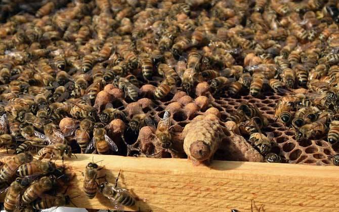 蜜蜂没有蜂王