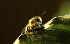 麦蜂(野生无刺蜂)