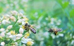 初学养蜂怎么选择蜂种?