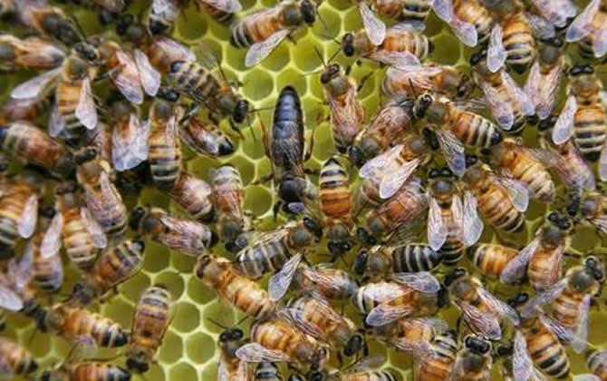 蜜蜂中的蜂王是什么蜂