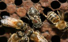 什么是蜂螨?
