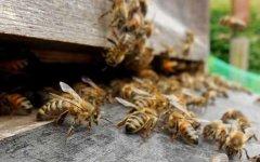 什么是盗蜂?