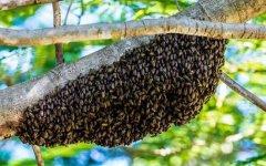 什么是分蜂?
