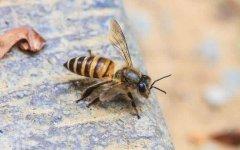 蜜蜂中毒了怎么办?