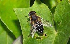 什么是雄蜂?