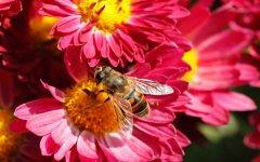 关于蜜蜂的知识