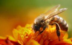 蜜蜂用什么采蜜?