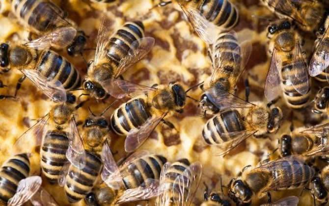 自然分蜂和人工分蜂哪个好(人工分蜂方法)