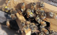 养100箱蜜蜂要多少资金?