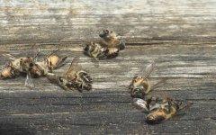 蜜蜂中毒了有哪些症状?