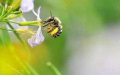 养殖蜜蜂时蜜蜂不蛰手吗