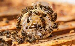 最新蜂王价格多少钱一只