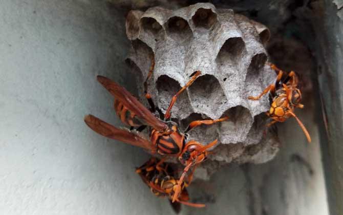 棕长脚蜂有毒吗(长脚蜂毒性)