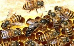 买蜜蜂时如何挑选好的蜂群?