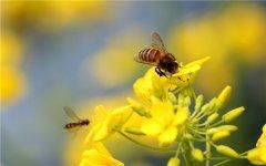 油菜花蜂蜜是什么颜色?(影响蜂蜜颜色的因素)