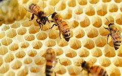 蜜蜂进家筑巢有什么征兆?(蜜蜂入屋预兆)