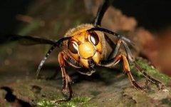 胡蜂(马蜂)养殖前景与市场怎么样(养殖胡蜂靠什么赚钱)