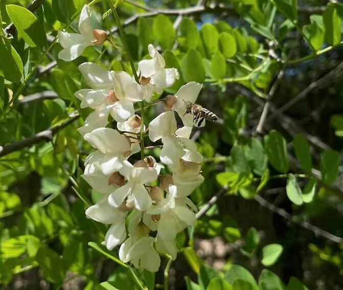 蜜蜂采花粉还是花蜜,做什么用?(带你看怎么酿变成蜂蜜)