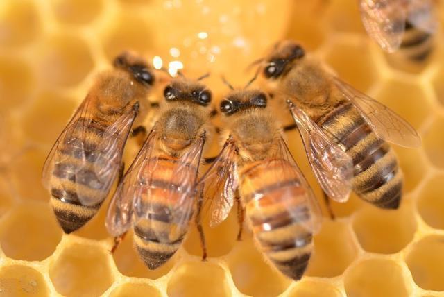 蜜蜂的平均寿命一般有多长?能活多久?