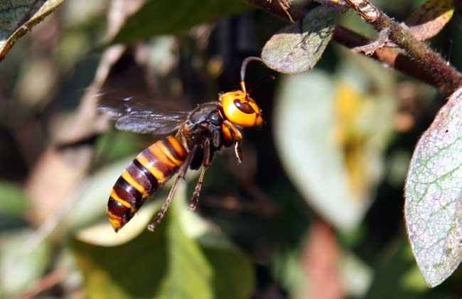 拟大虎头蜂的毒性大吗(虎头蜂的毒性大吗)
