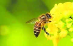 无缘无故突然被蜜蜂蜇预示什么?(揭秘蜜蜂跟着的原因)