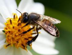 被蜜蜂蜇了不管可以吗?会不会有怎样的问题和后果?