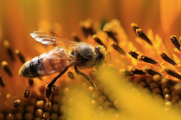 如何诱捕别人家养的蜜蜂?(教你怎么捉来蜜蜂)