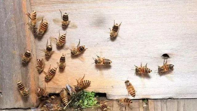 最牛诱蜂的诀窍和方法(提高诱蜂成功率的技巧)