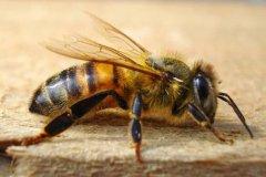 意蜂和中蜂有什么区别?(手把手教你如何分辨)