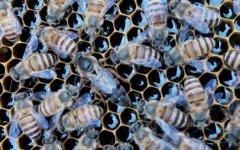 中蜂和意蜂怎么分辨区别?哪种好养?(教你如何区分中蜂和意蜂)
