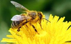 蜜蜂分几种类型的蜂?(带你认识蜜蜂品种)