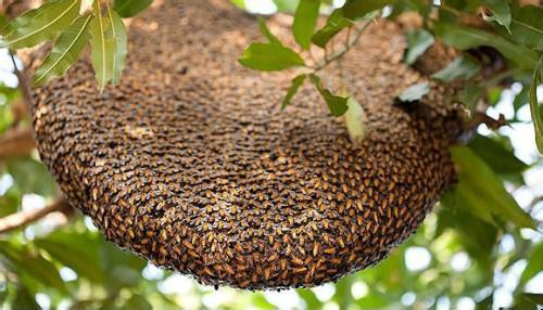 怎样知道附近有蜜蜂窝在哪里?(教你怎么找到蜜蜂窝)