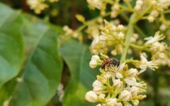 黑小蜜蜂是什么蜂?有哪些特点?