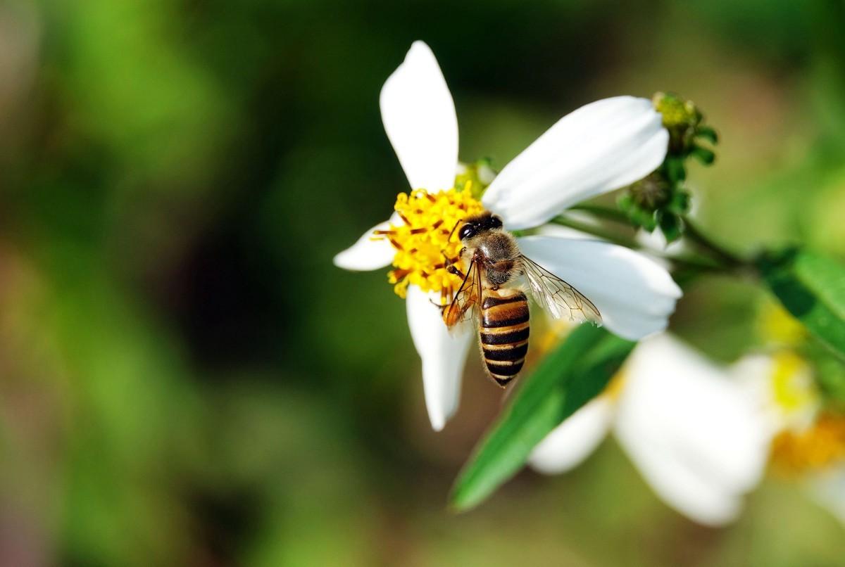 蜜蜂为什么要采蜜和酿蜜?它们为谁采蜜?