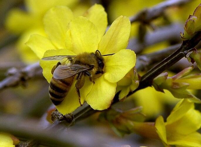意蜂和中蜂一体箱混养可以吗?(中蜂意蜂合群混养技术)
