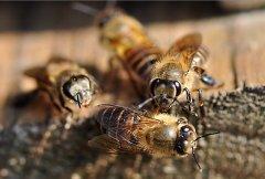 中蜂和土蜂有什么区别?(中蜂土蜂是一样的种类吗)