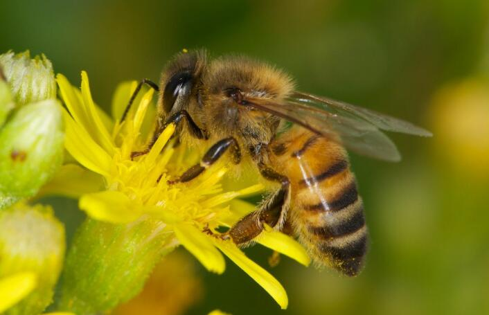 蜜蜂有几对翅膀?(蜜蜂是怎么飞上天的)