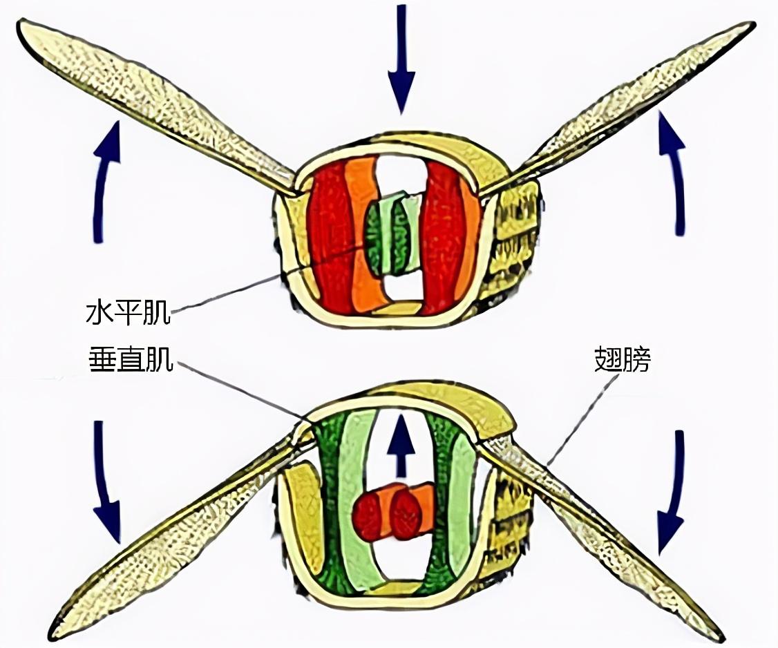 蜜蜂是不是有四只翅膀