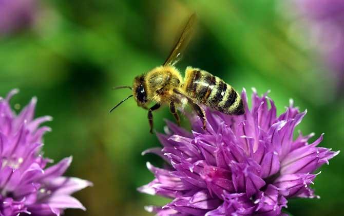 什么气味能让蜜蜂弃巢?