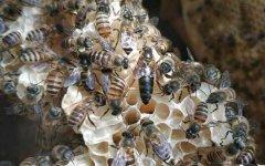 维持大群的中蜂品种有哪些?
