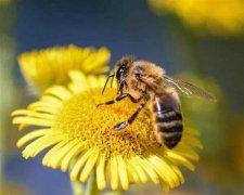 关于蜜蜂的知识有哪些?(带你了解蜜蜂)