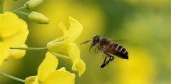 中国常见的蜜蜂有哪几种类型(盘点我国的蜜蜂种类)