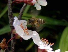 西蜂和中蜂有什么区别(东方蜜蜂和西方蜜蜂的区别和不同)