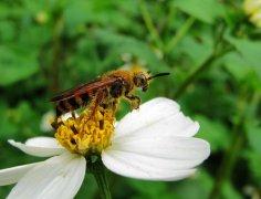土蜂和蜜蜂、马蜂的区别(土蜂是什么蜂种)