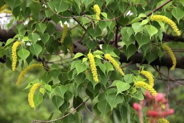 一颗桂花树可养多少蜜蜂