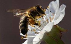 蜜蜂采蜜的过程是怎样的(蜜蜂怎么采蜜和酿蜜的)
