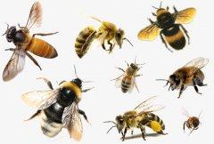 蜜蜂有几种颜色(蜜蜂有什么颜色)