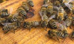 蜜蜂中的蜂王和工蜂分别是什么蜂(蜂王和工蜂是雌蜂还是雄蜂)