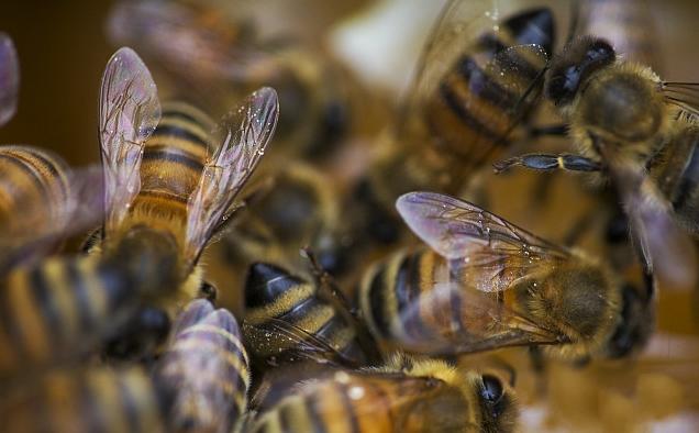 夏季蜜蜂容易出雄蜂吗(蜜蜂雄蜂太多要不要处理)