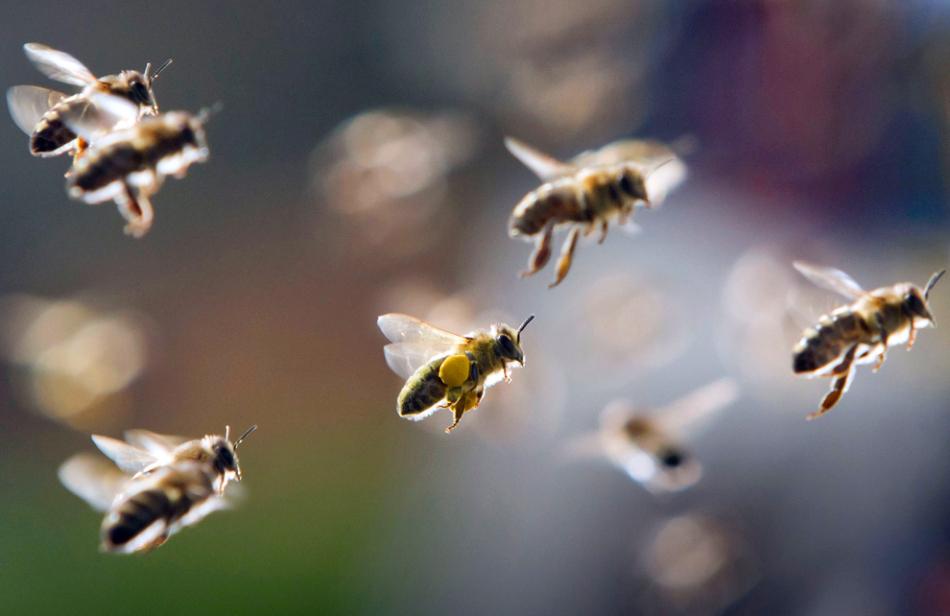 蜜蜂飞走了有什么预兆(蜜蜂飞逃前有哪些征兆)